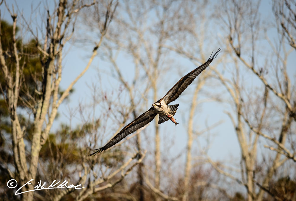 Osprey_with_Fish_03 (1 of 1).jpg by erikmoore526
