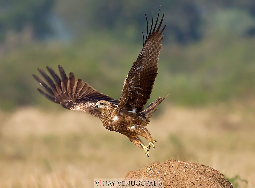 Indian Black Kite by VinayVenugopal