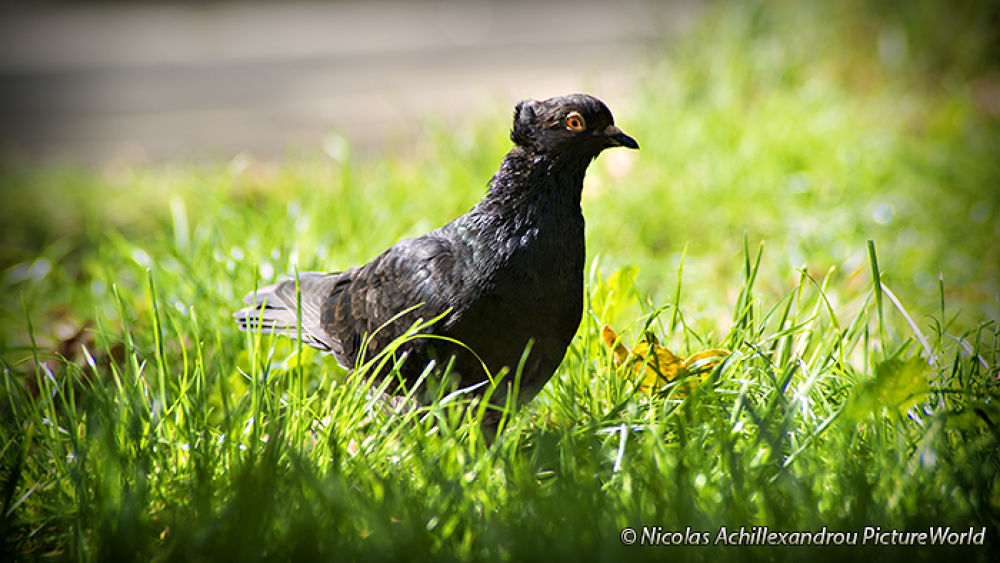 Pigeon 2 by Picturesensation
