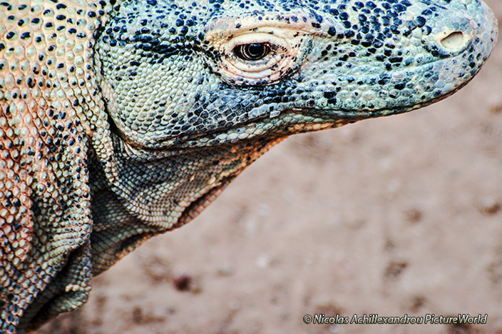 Komodo face by Picturesensation