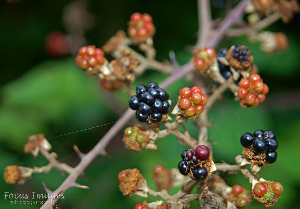 wild berrys by grahambrown18