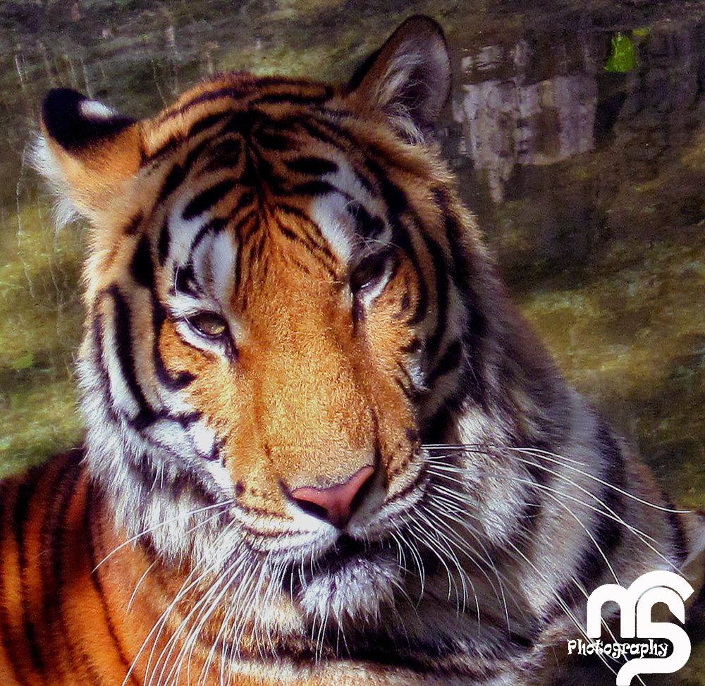 Tiger 3.jpg by Manoj Sheth