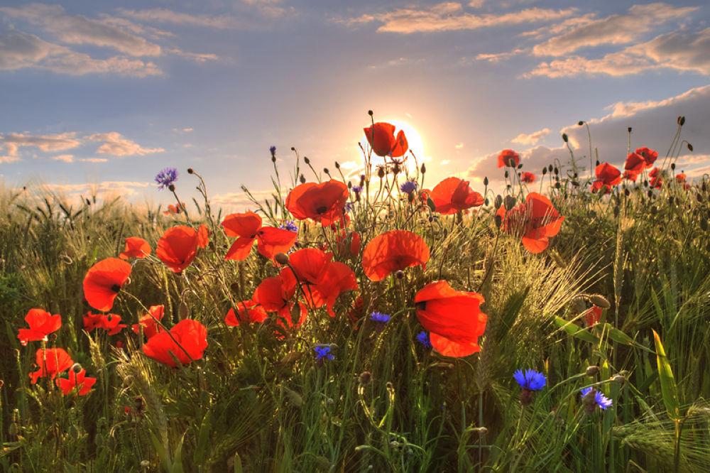 Poppys at Light by steffengierok