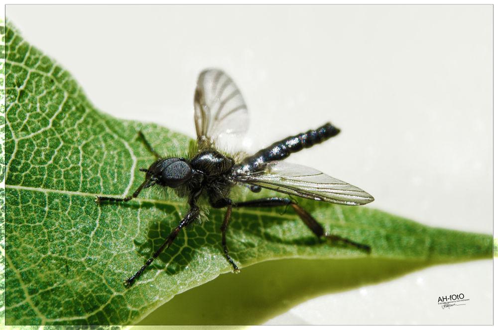 black Fly.jpg by axelholzhausen