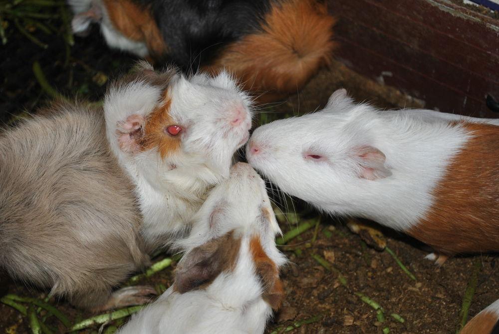 De Bourg Three Little Pigs Farm . by Minques