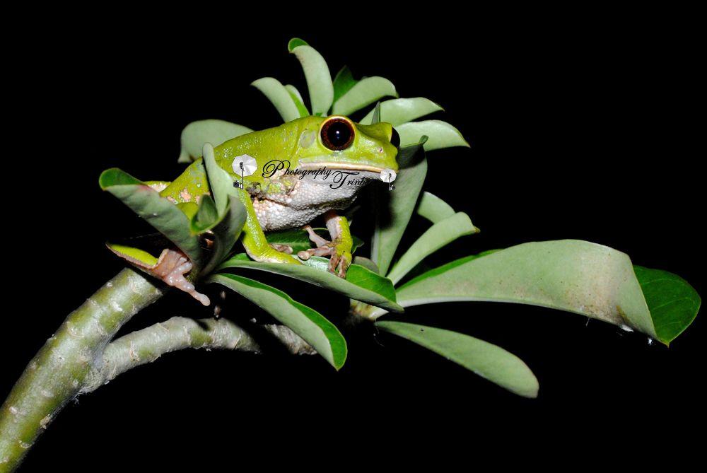 Trinidad & Tobago Green Flying Frog.jpg by Minques