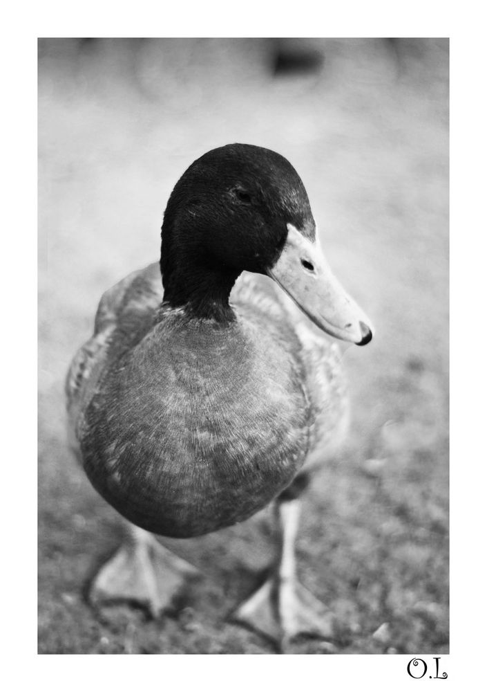Canard by OphelieLequesneG