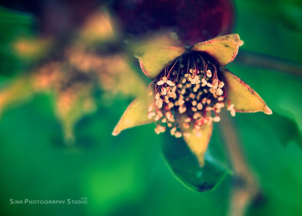Pomegranate  by MajidBz