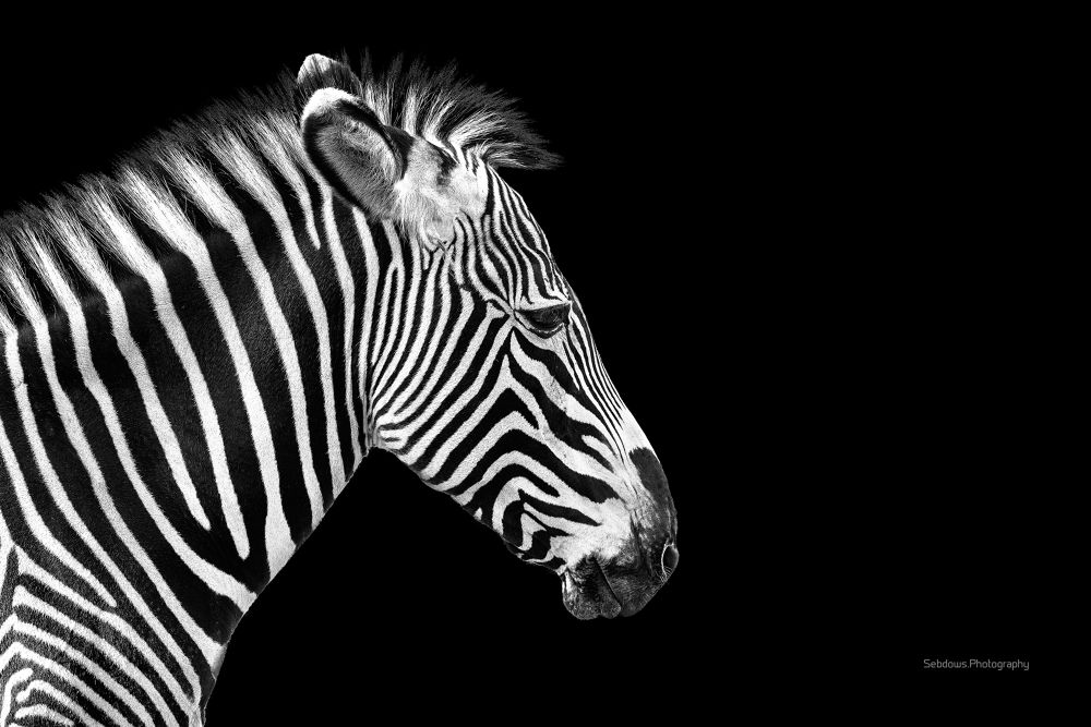 Zebra by Sebastien Gaborit