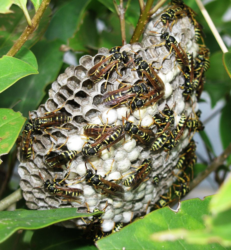 Common Wasp nest by leventcerci52