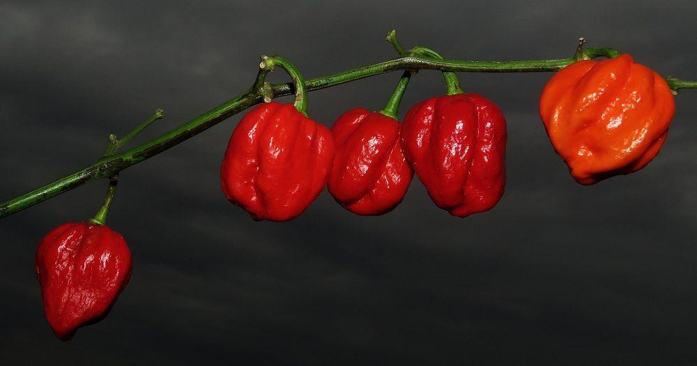 Chilli C. chinense '7 Pot Jonah' by leventcerci52
