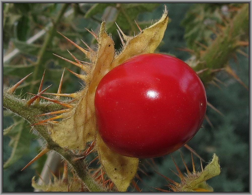 Litchi tomato by leventcerci52