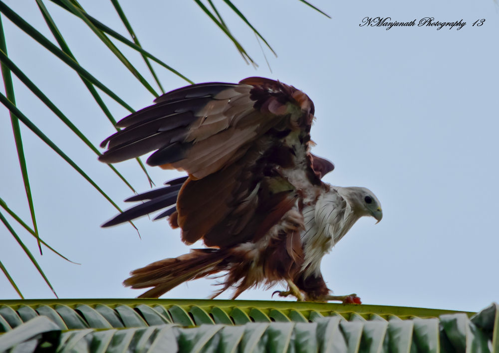 Bramhi Kite - Just landing by manjunathnagesharao5