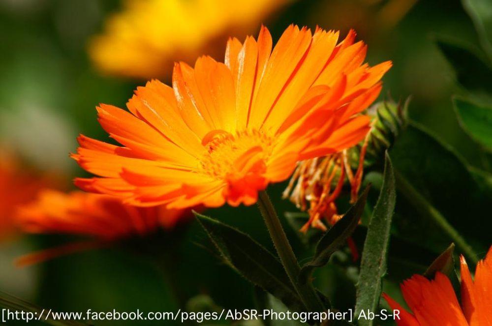 Orange blossom_n by Abouod