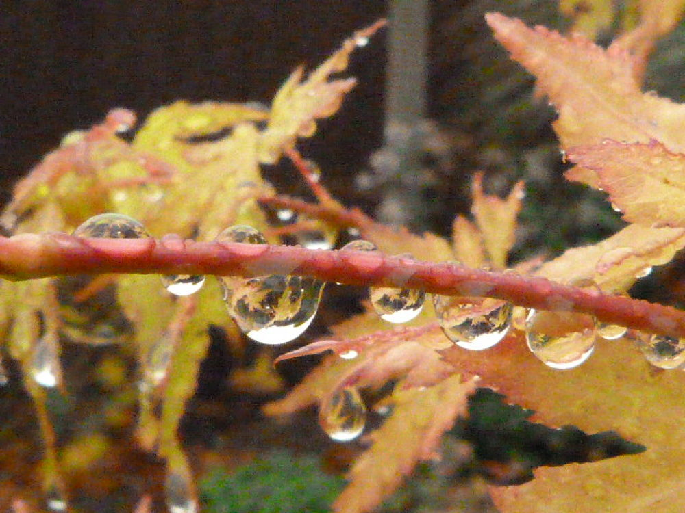 Acer and Rain Droplets by stevecocking