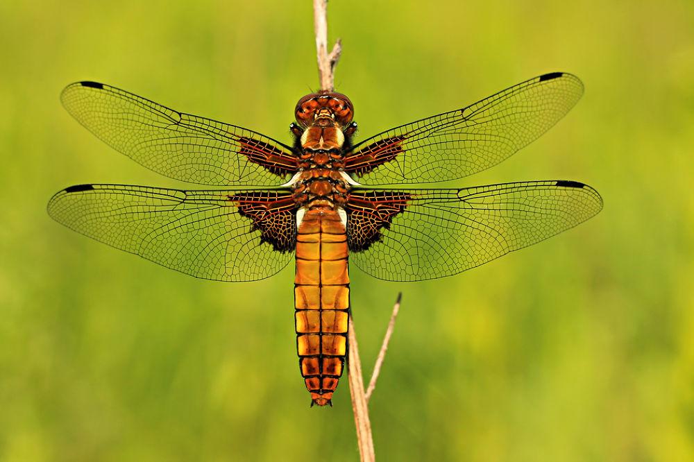 dragonfly.jpg by przybor