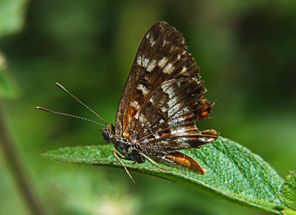 Aricoris campestris, butterfly, borboleta by Rui Oliveira Santos