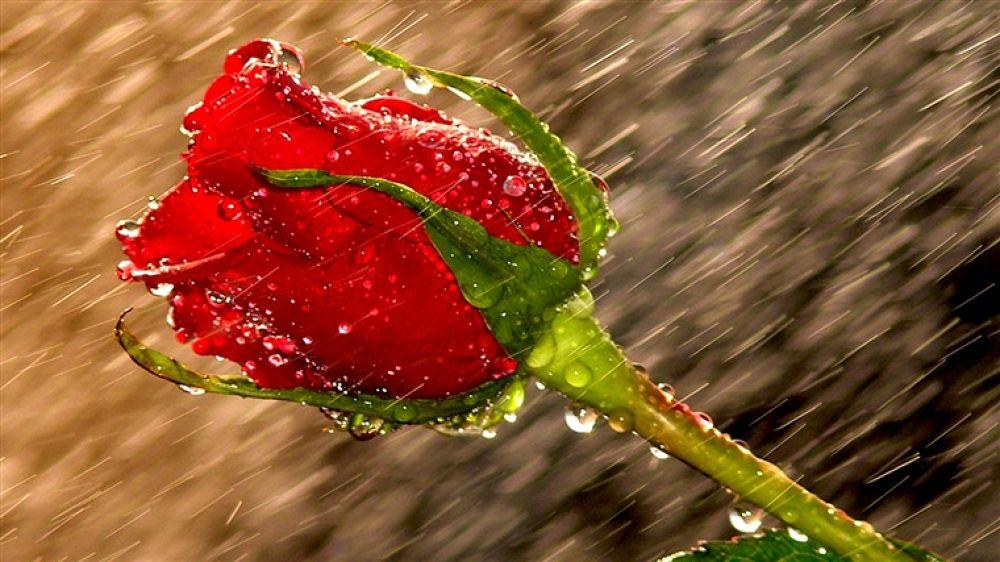 453361-1366x768-raindrop-delicacy by hardeepsingh