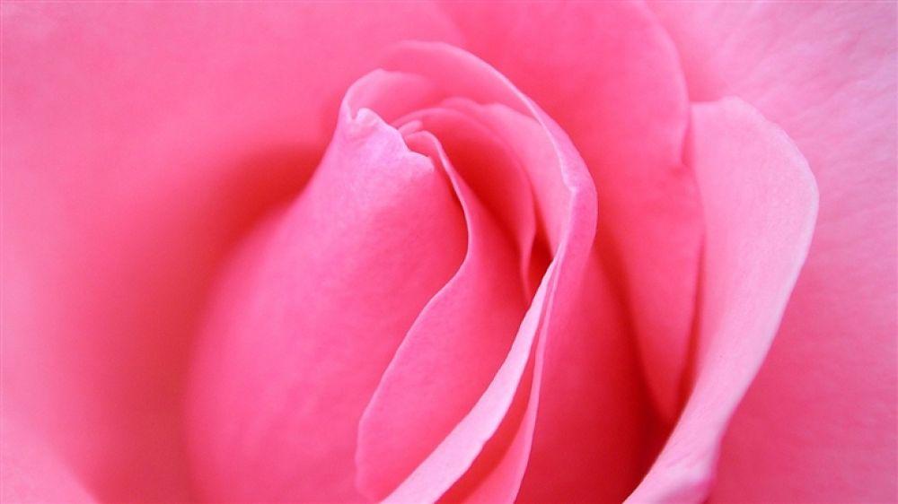 485184-1366x768-pink-rose-macro-1280x800 by hardeepsingh