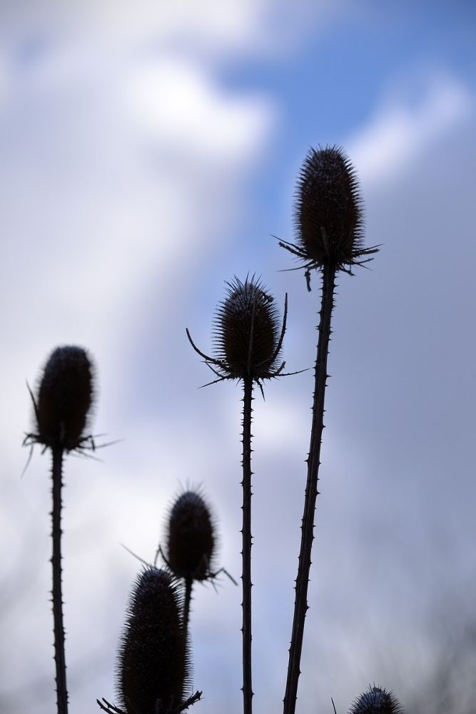 The thistle by habibi27