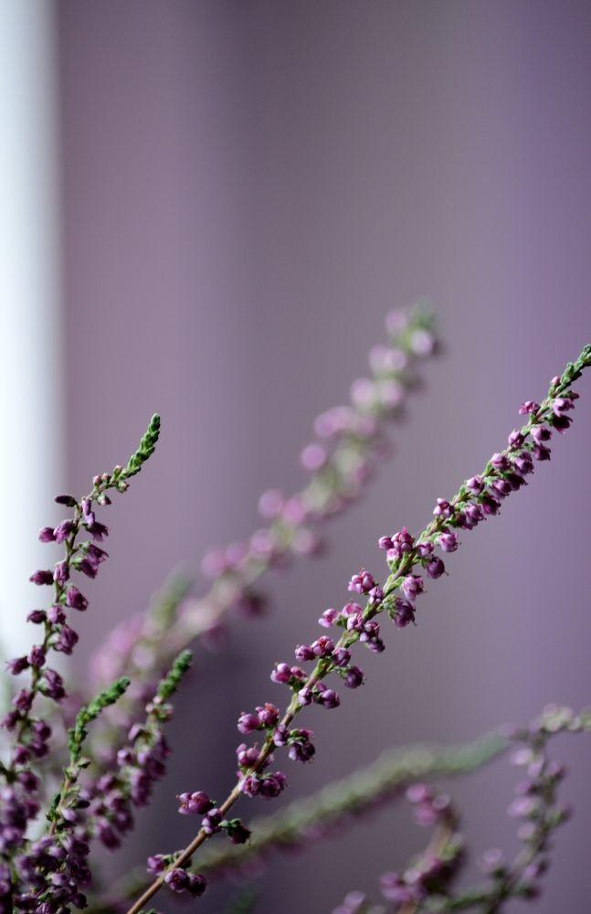 Photo in Nature #heather #flower #plant #nature #twig #violet #autumn flowers #autumn #nikon