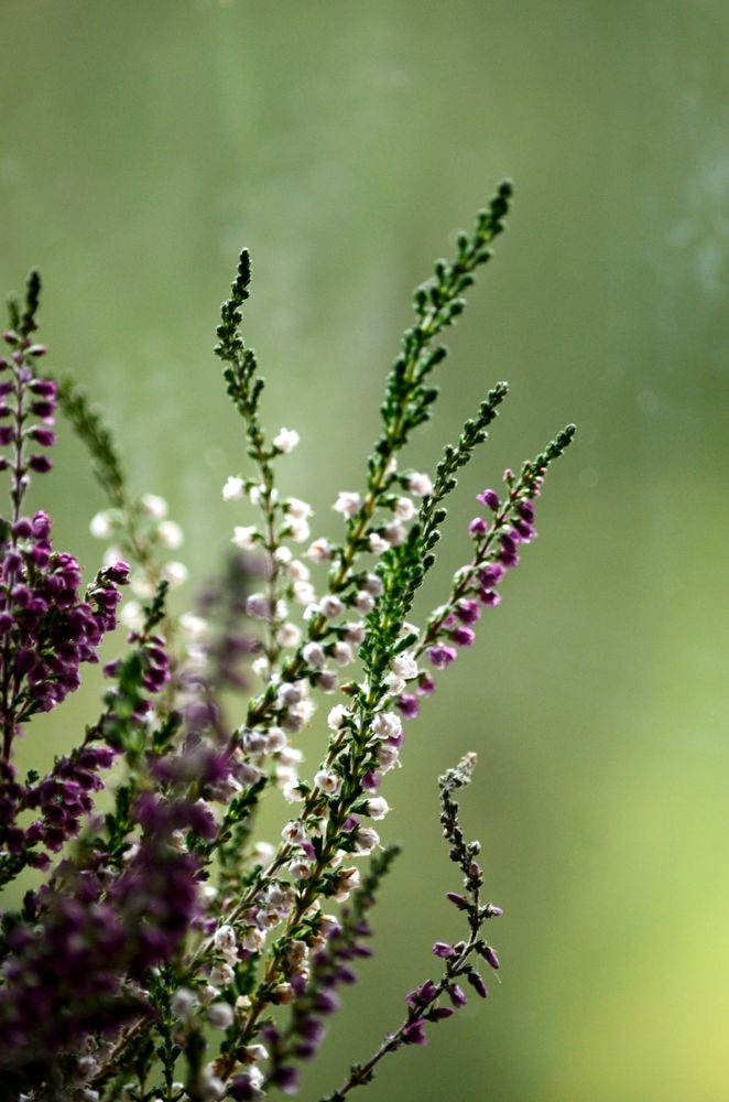 The heather by habibi27