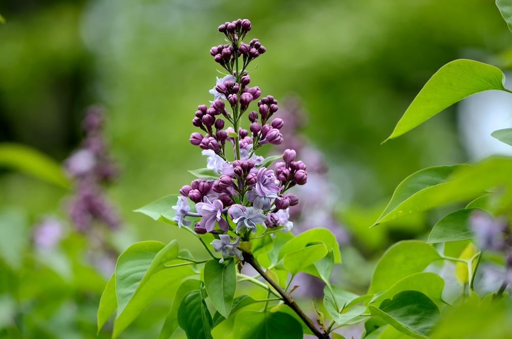 Photo in Nature #tree #lilac #twig #nature #flower #park #spring #leaves #poland #nikon