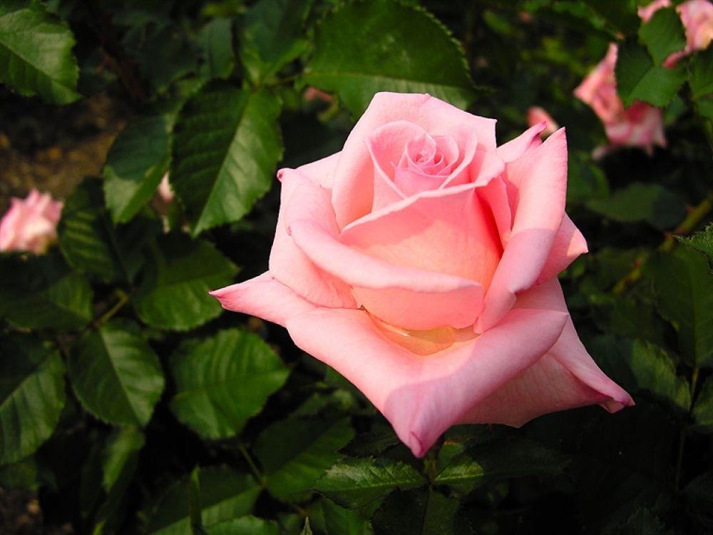 pink-rose-wallpapers_5777_1024x768 by hardeepsingh