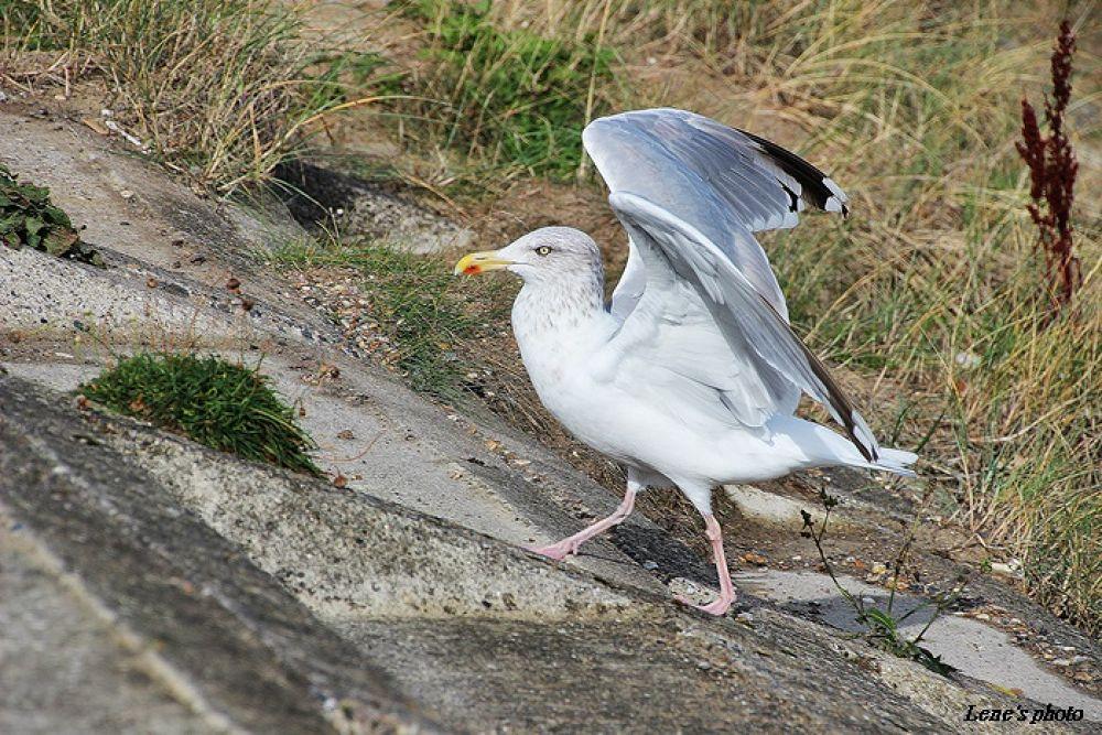Seagull by lenejohansen969