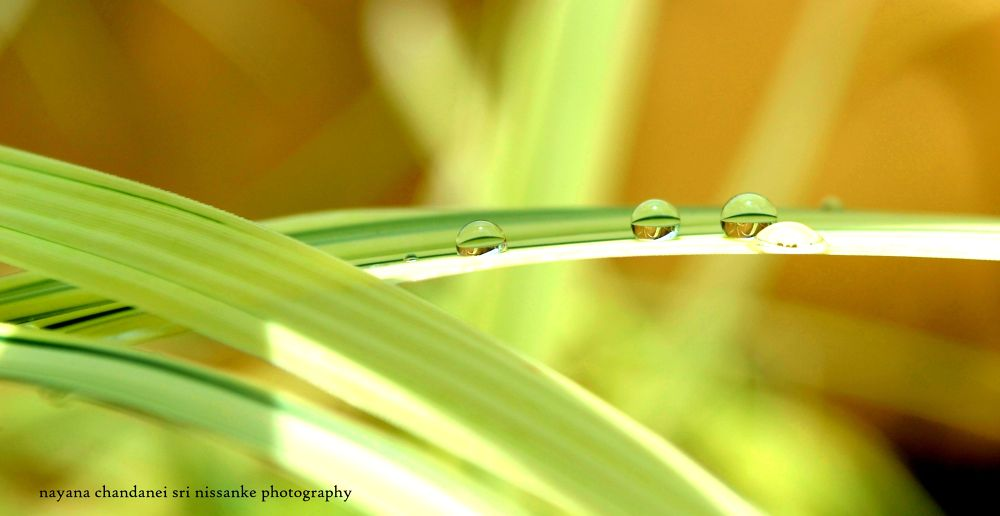droplets or diamonds.... by nayanachandaneisrinissanke