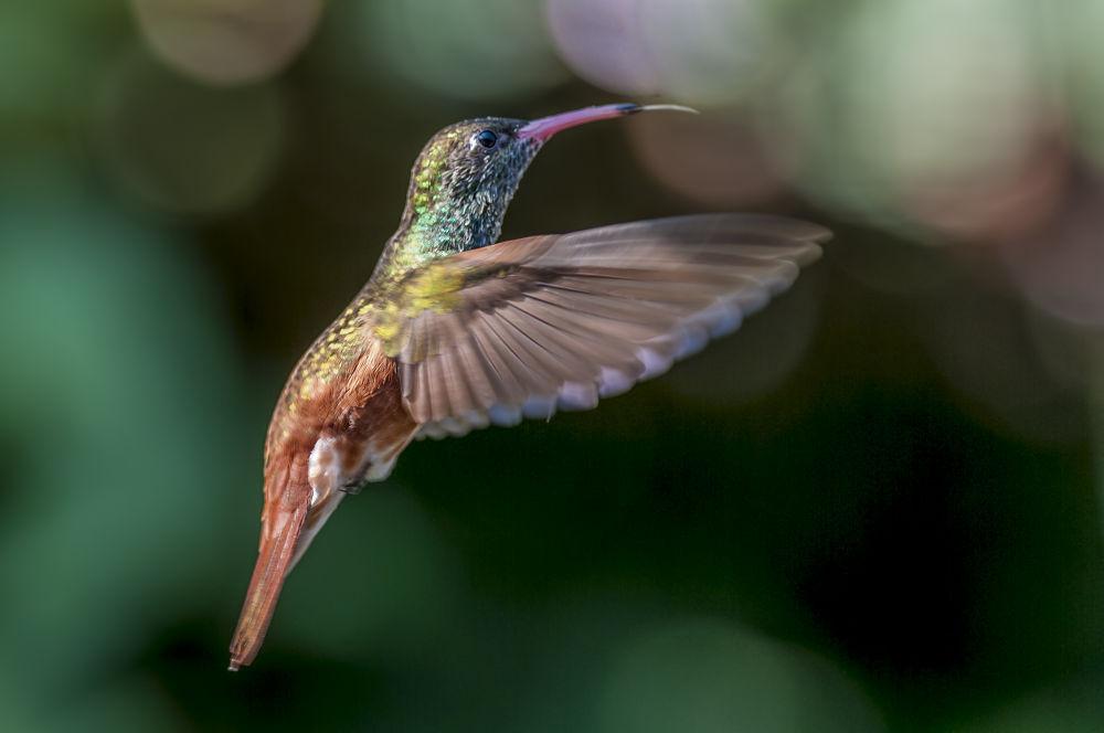 colibri by riccardotrevisani