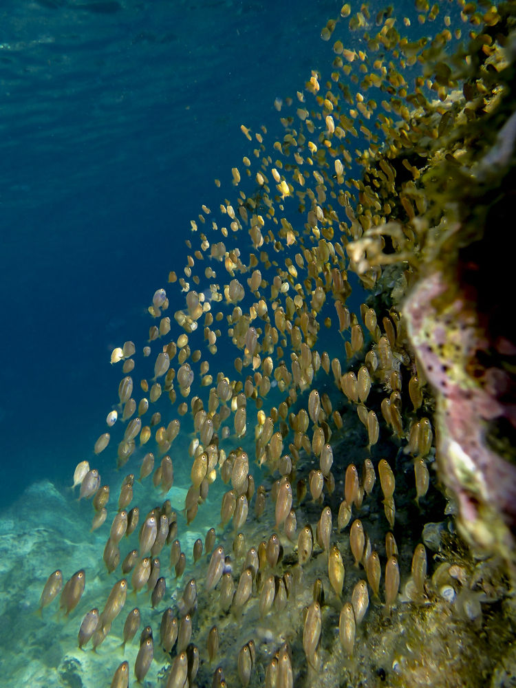 golden fishes by riccardotrevisani