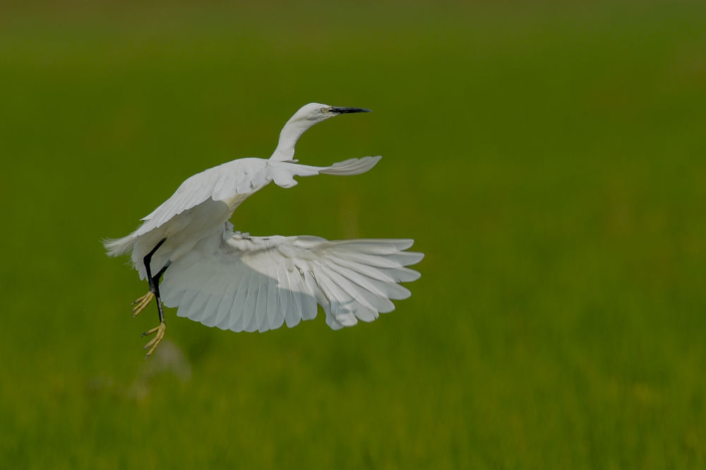 little egret by riccardotrevisani
