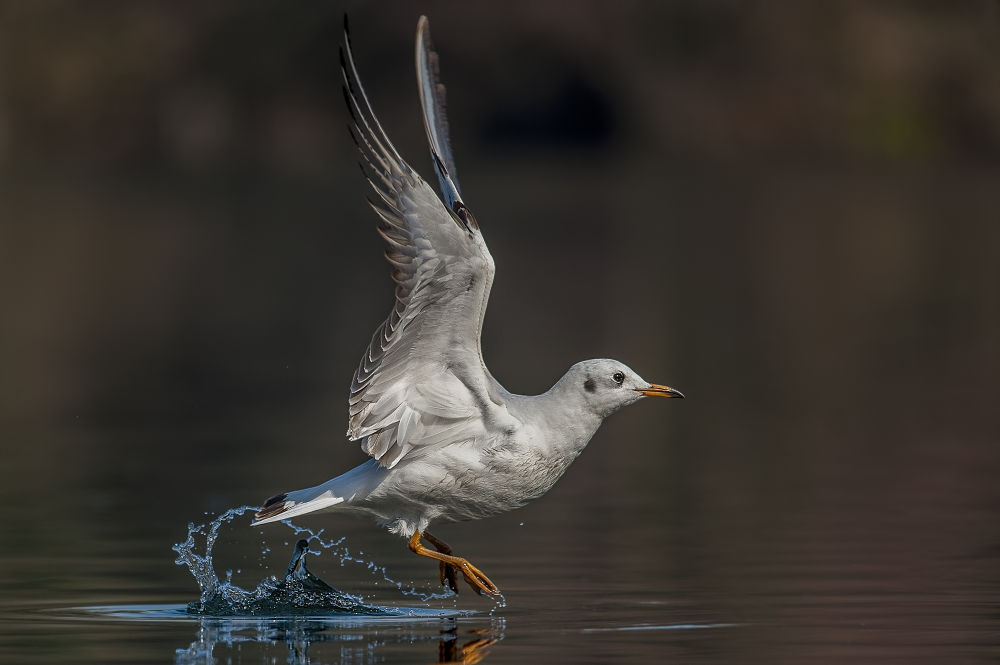 seagull by riccardotrevisani