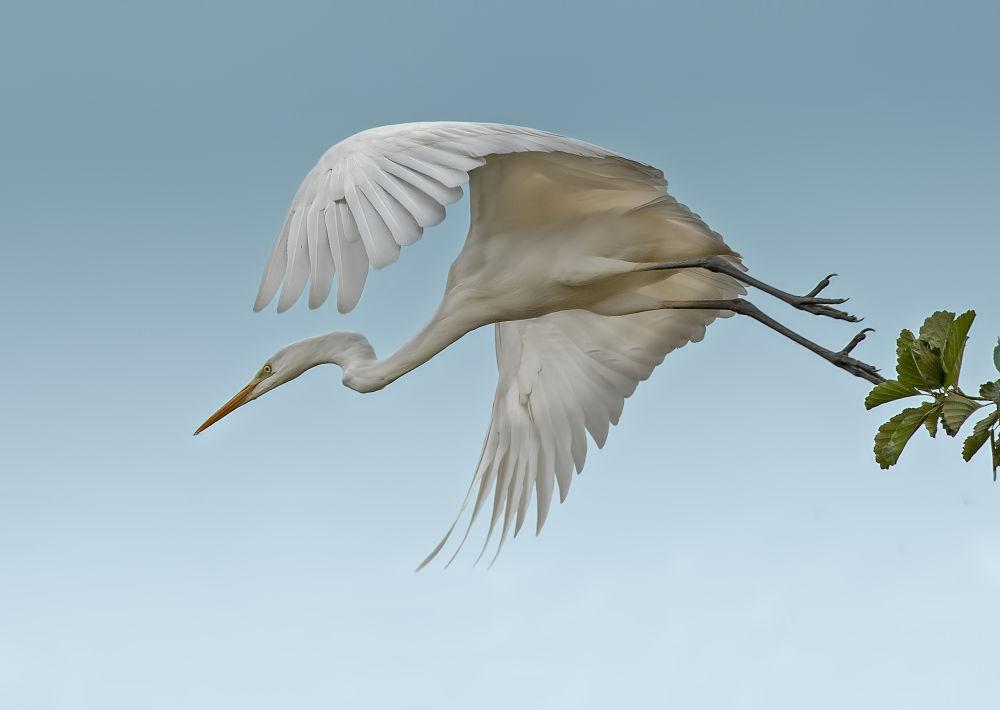 Photo in Animal #take off #white #heron #riccardo trevisani