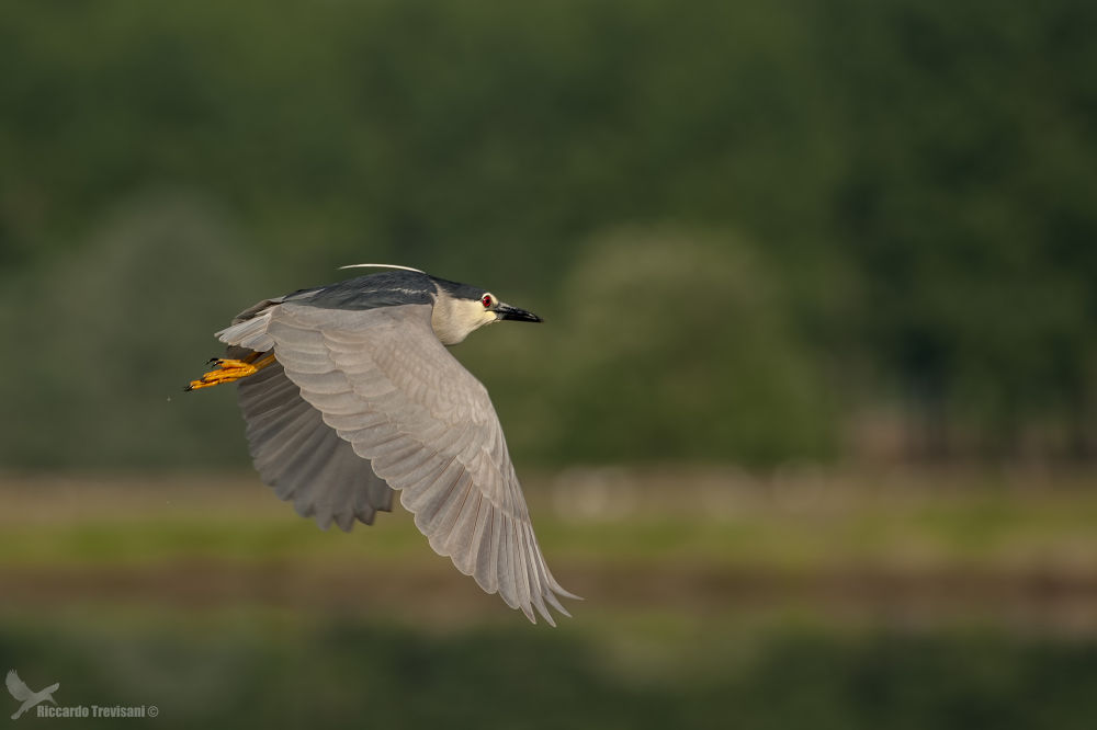 night heron by riccardotrevisani
