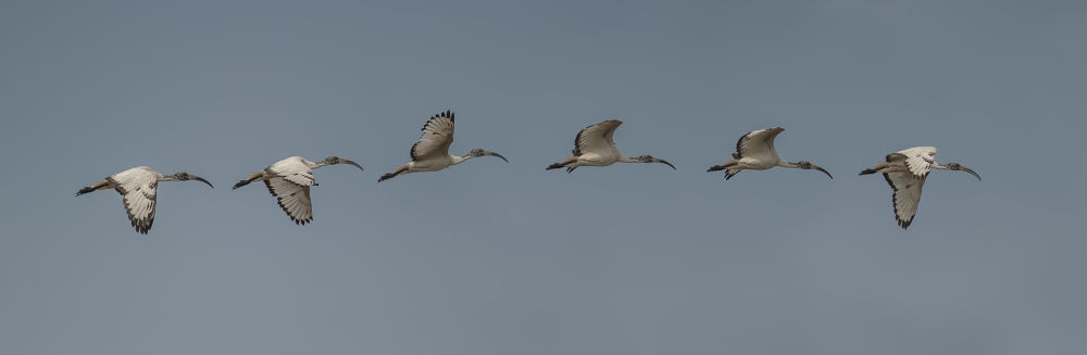 fly sequence (ibis) by riccardotrevisani