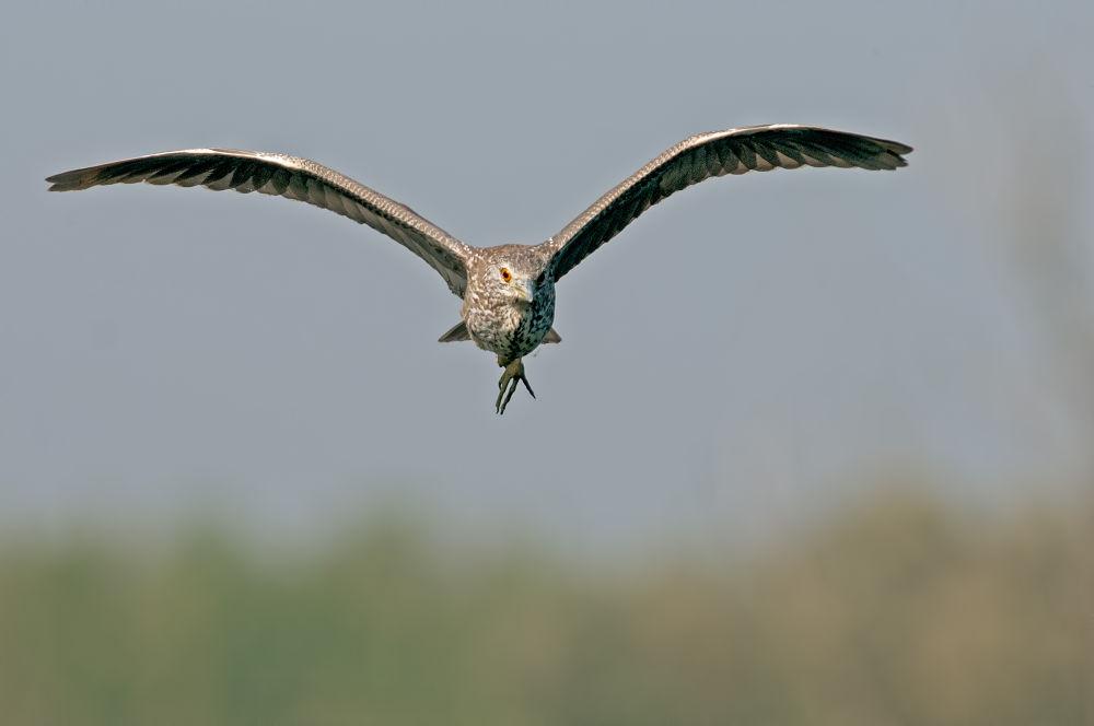 Photo in Animal #night heron #wildlife #riccardo trevisani #birdwatch #nature