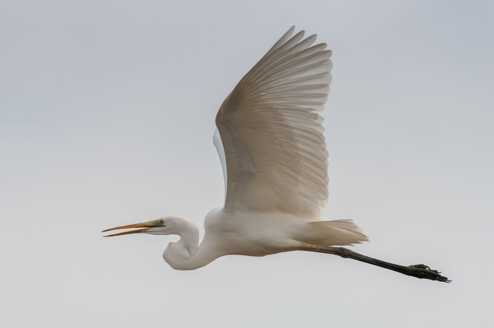 great white egret on fly by riccardotrevisani