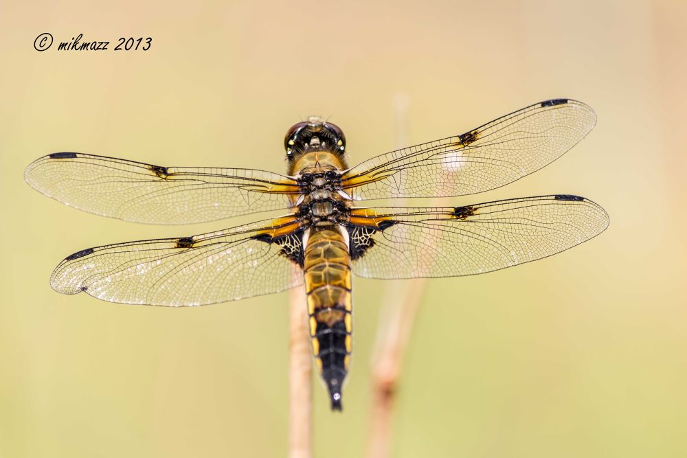 Photo in Nature #nature #animal #dragonfly #val canali