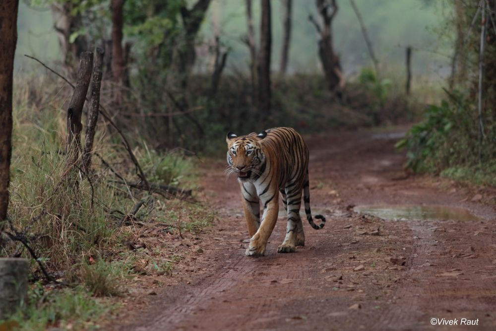 tiger on move by Vivek Raut