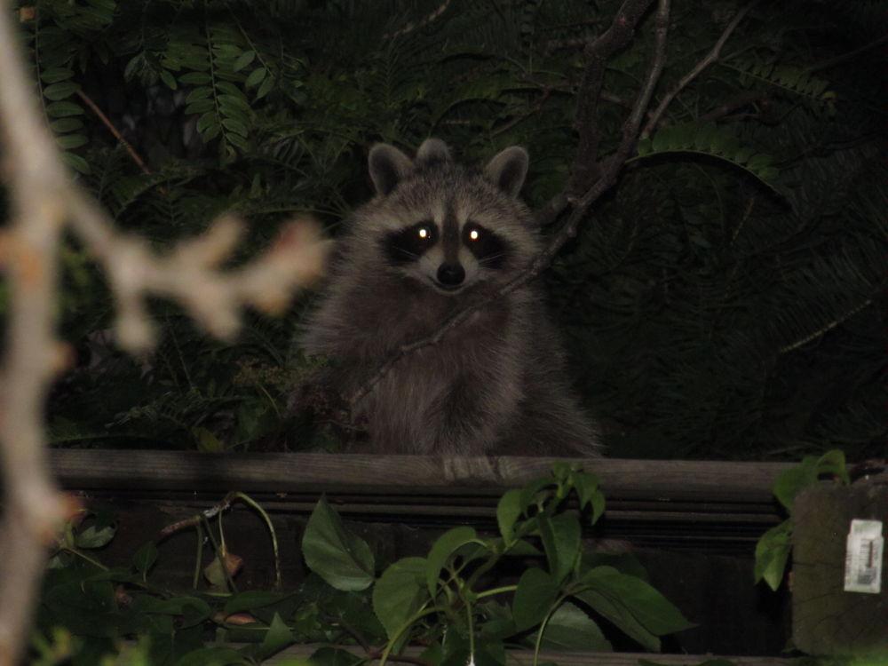 IMG_4838-1 Backyard Visitor by simonp