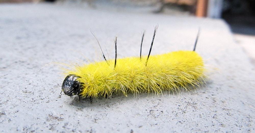 American Dagger Caterpillar by simonp S&R Photography