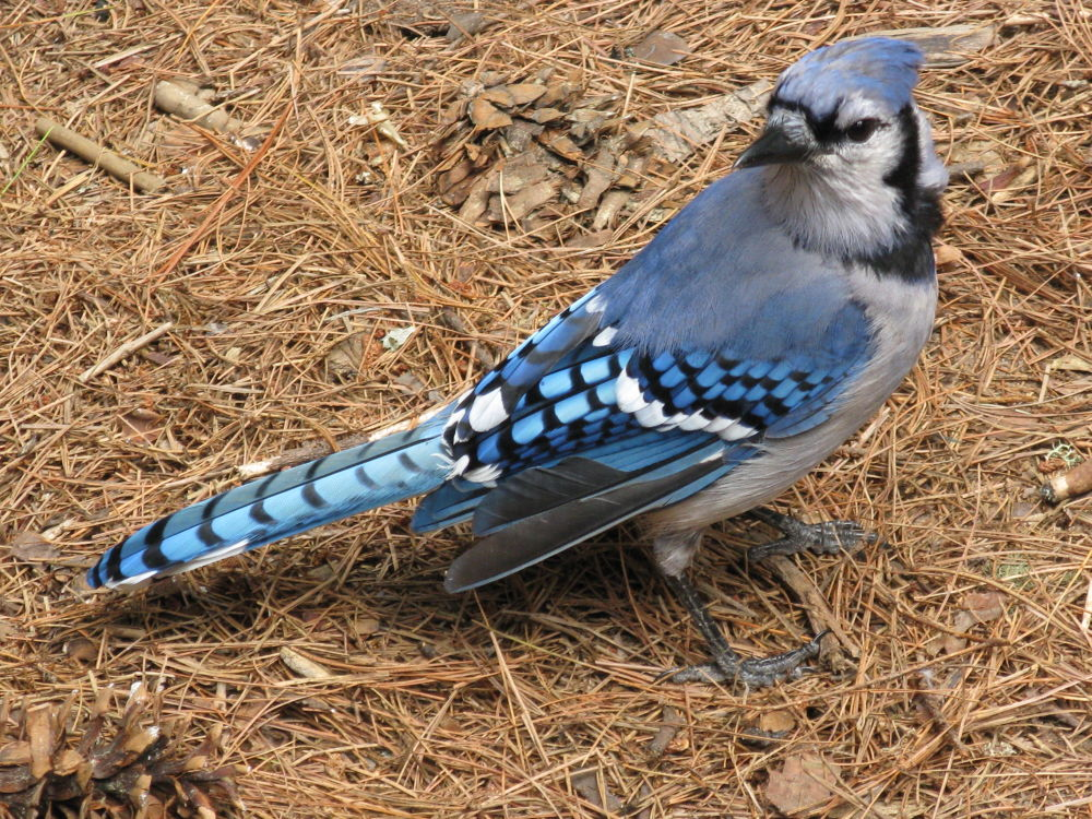 Blue Jay On the look out by simonp S&R Photography