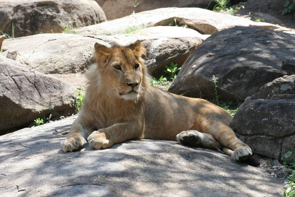 Young Lion by simonp