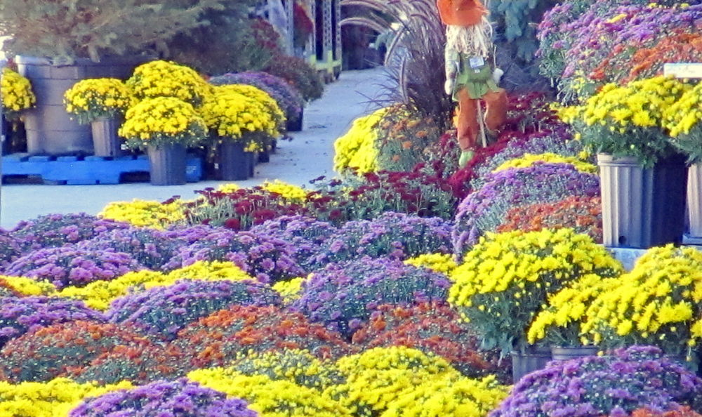 Fall Mums 3 by simonp S&R Photography