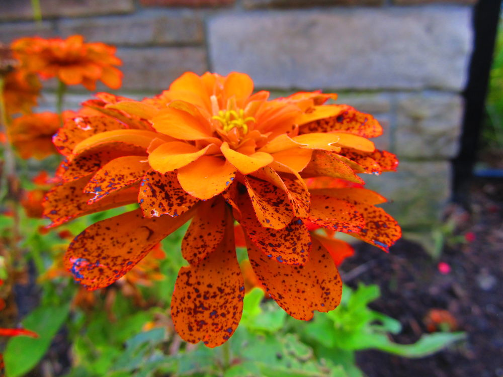 spotted  Orange Flower by simonp