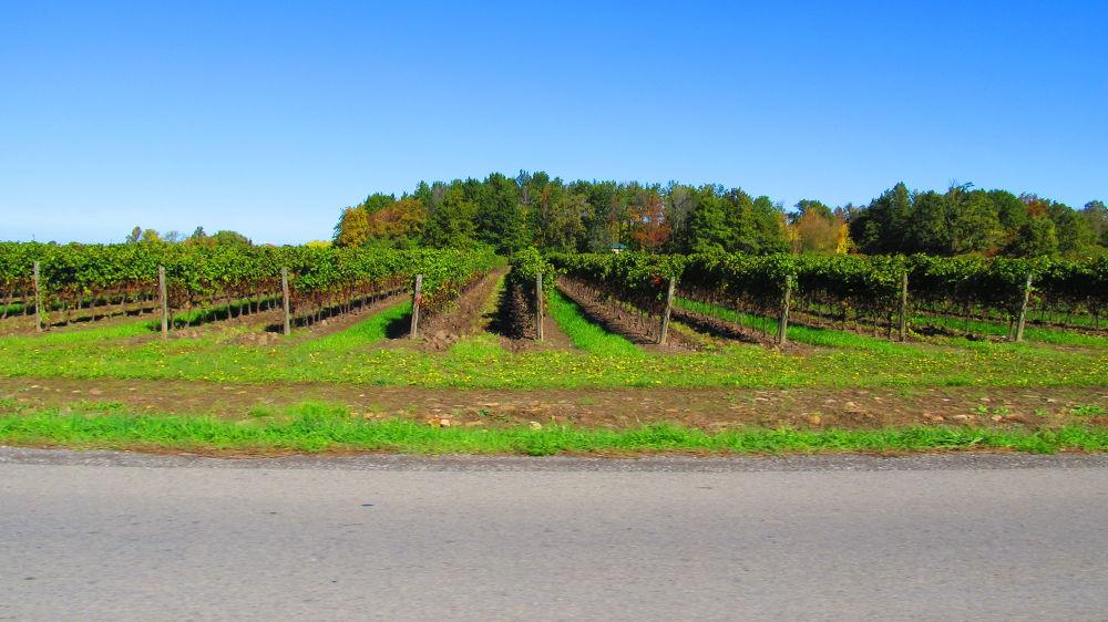 Niagara on the Lake Grape Vines by simonp