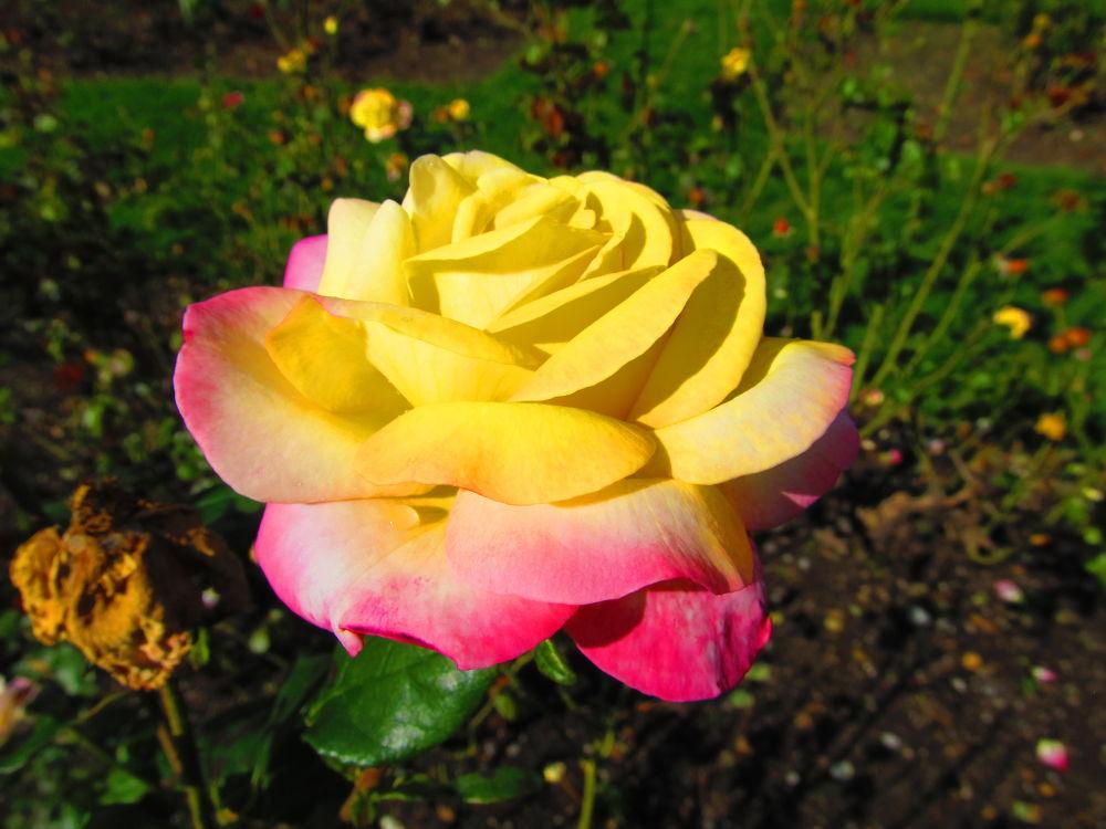 Yellow Rose by simonp