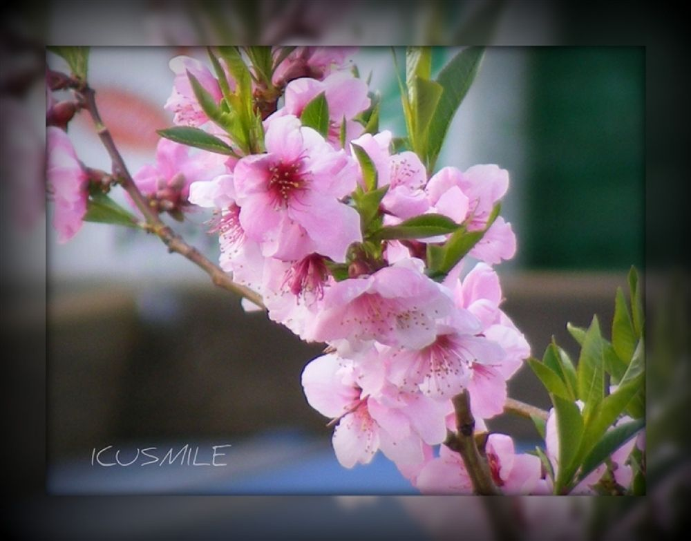 APPLE BLOSSOM2 by icusmile